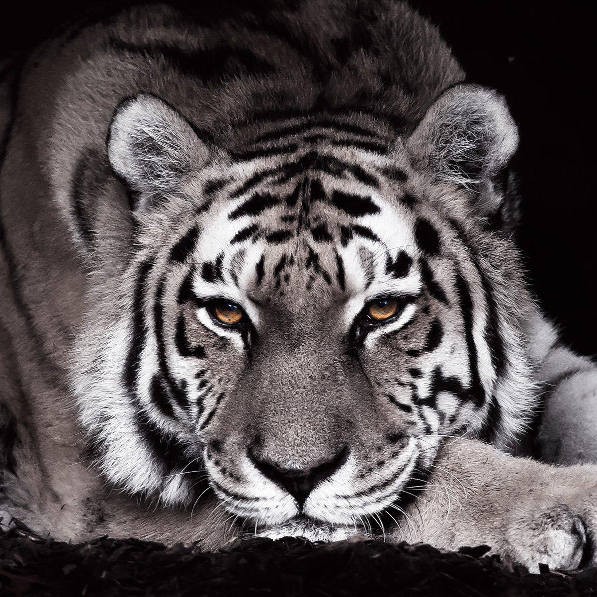 Eurographics DG-GLE1101 - Quadro ornamentale in vetro, immagine: tigre nera, 30 x 30 cm EUROGRAPHICS INTERNATIONAL