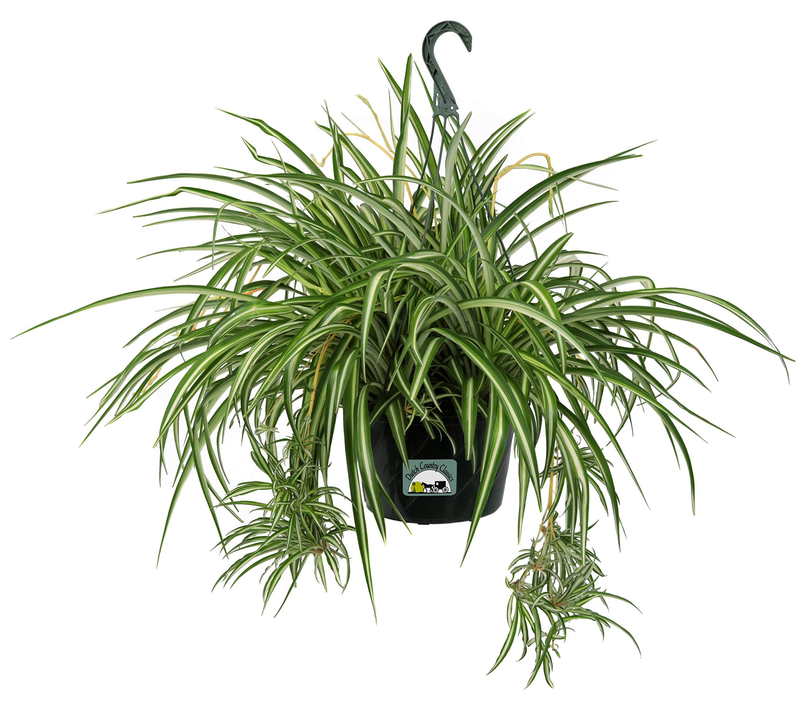 Dutch Country Classics Live Spider Plant - 10'' Hanging Basket by Dutch Country Classics