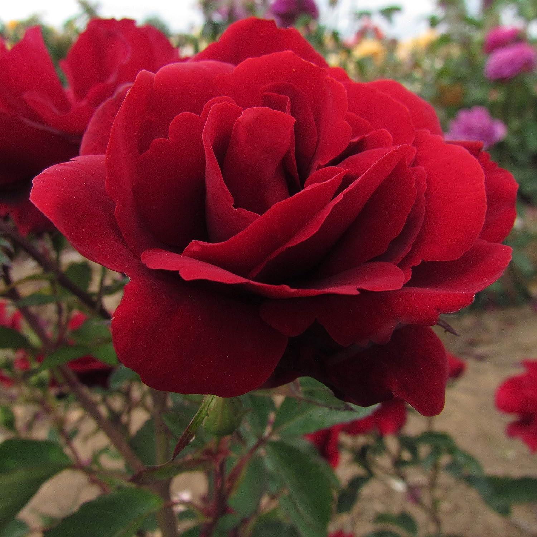 1 RUBY CELEBRATION ROSE FLORIBUNDA SCENTED