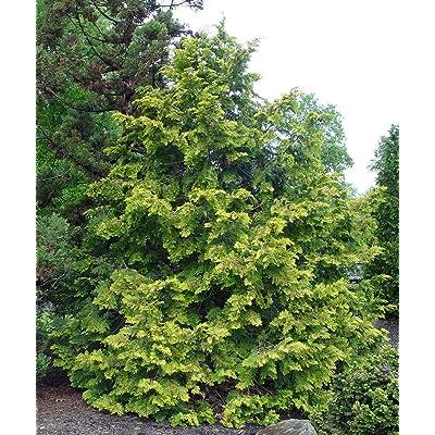 Hinoki Cypress 7 Seeds Bonsai Standard Or Container Gardening Red Bark Drooping Branches Chamaecyparis Obtusa : Garden & Outdoor