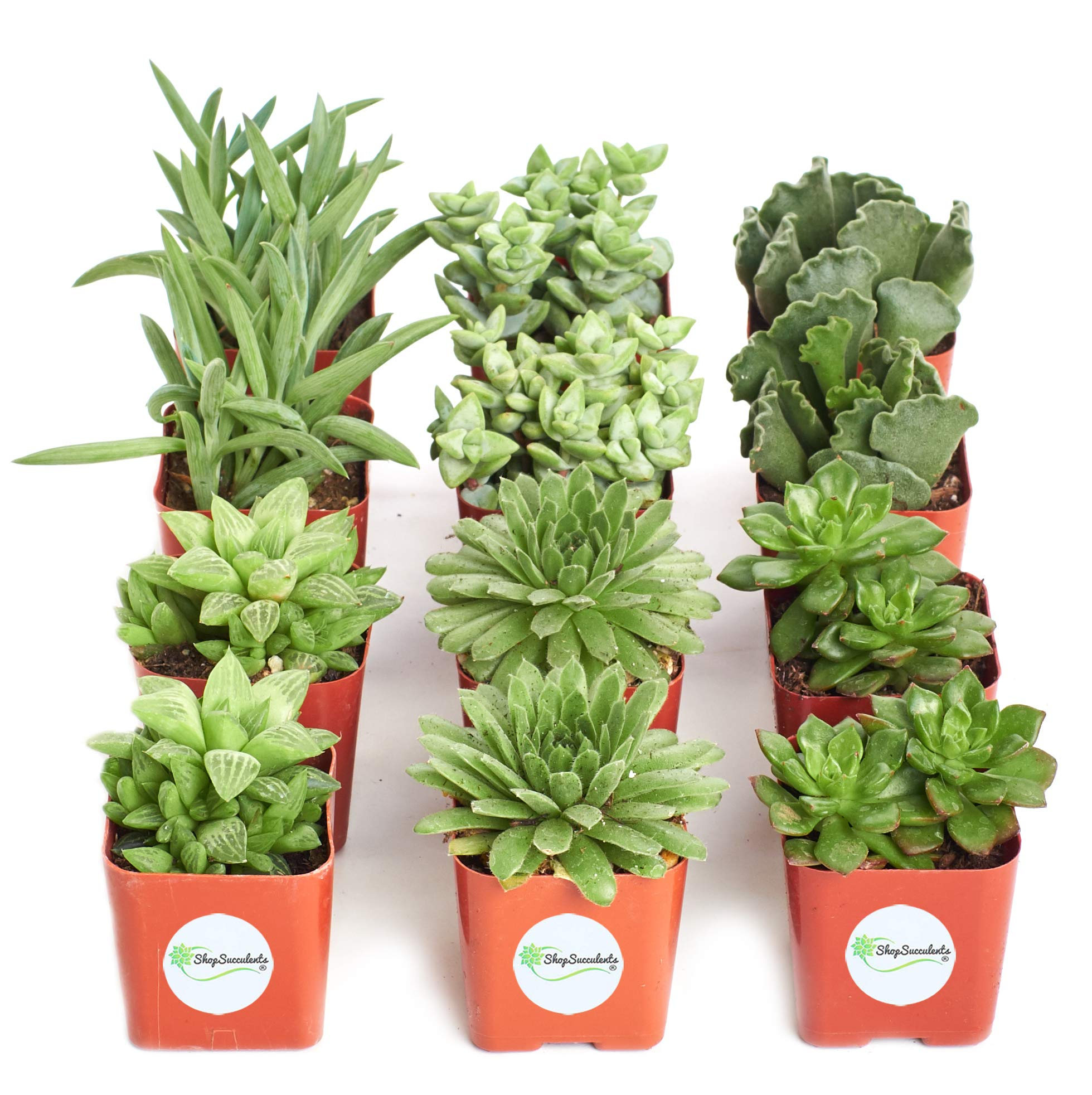 Shop Succulents | Green Live Plants, Hand Selected Variety Pack of Mini Succulents | | Collection of 12 in 2'' pots, Pack of 12 by Shop Succulents (Image #4)