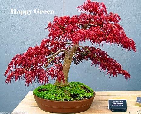 In Vaso Semi Della Pianta Dei Bonsai Semi Acero Rosso Giapponese Acer  Palmatum Atropurpureum Albero Semi
