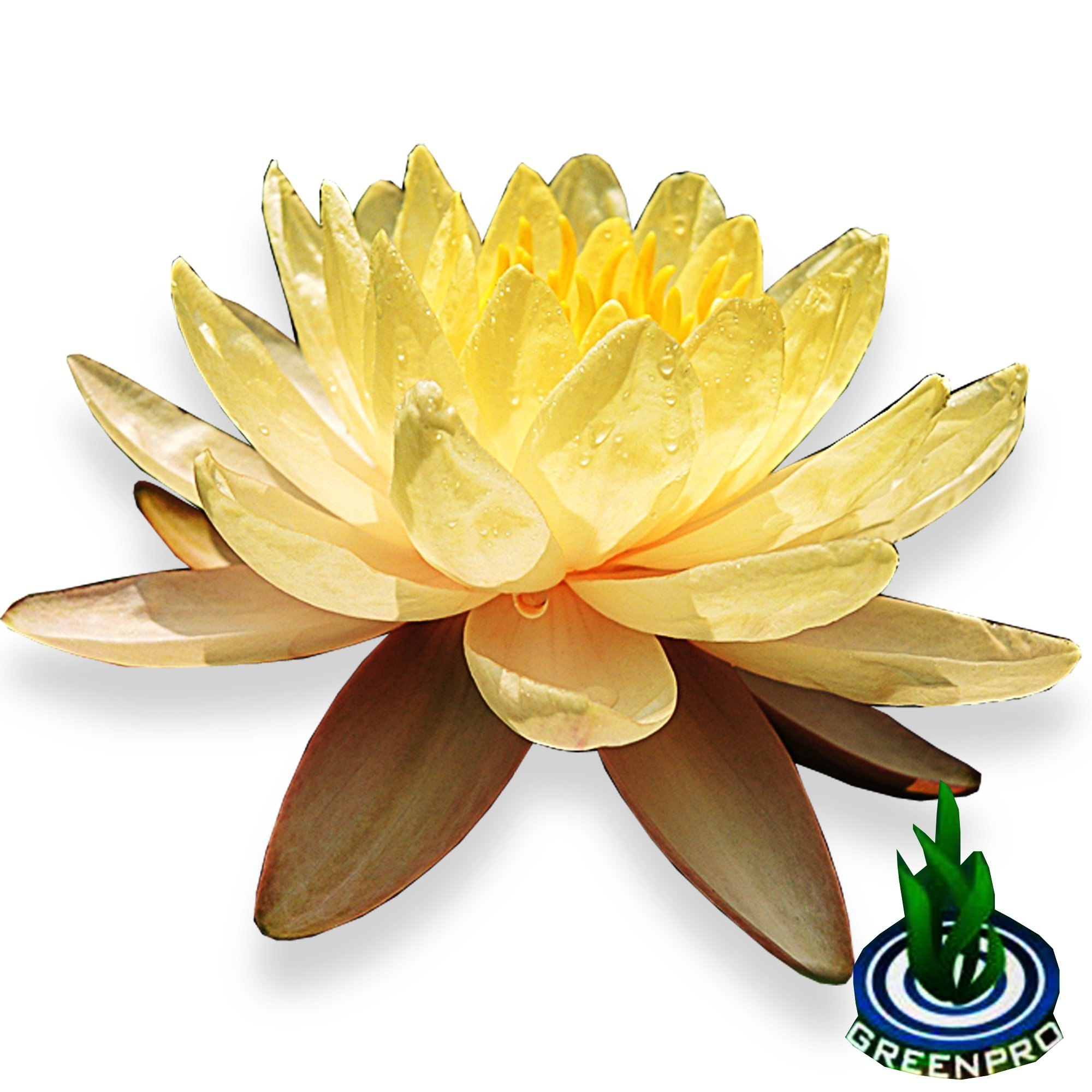 Live Aquatic Plant Yellow Nymphaea Mungkala Ubon Hardy Water Lilies Tuber for Aquarium Freshwater Fish Pond by Greenpro