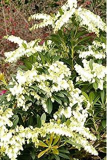 Amazon 25 qt mountain snow pieris evergreen shrub bloom southern living pieris mountain snow ornamental landscape bush dark green foliage mightylinksfo