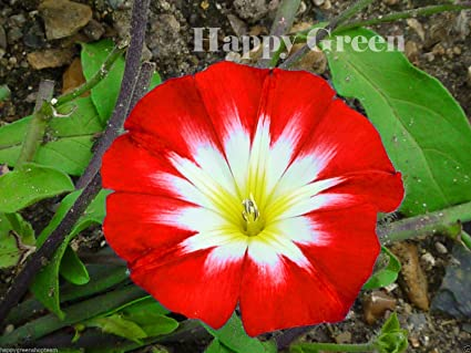 Amazon com : Dwarf Morning Glory Red Ensign - 110 seeds