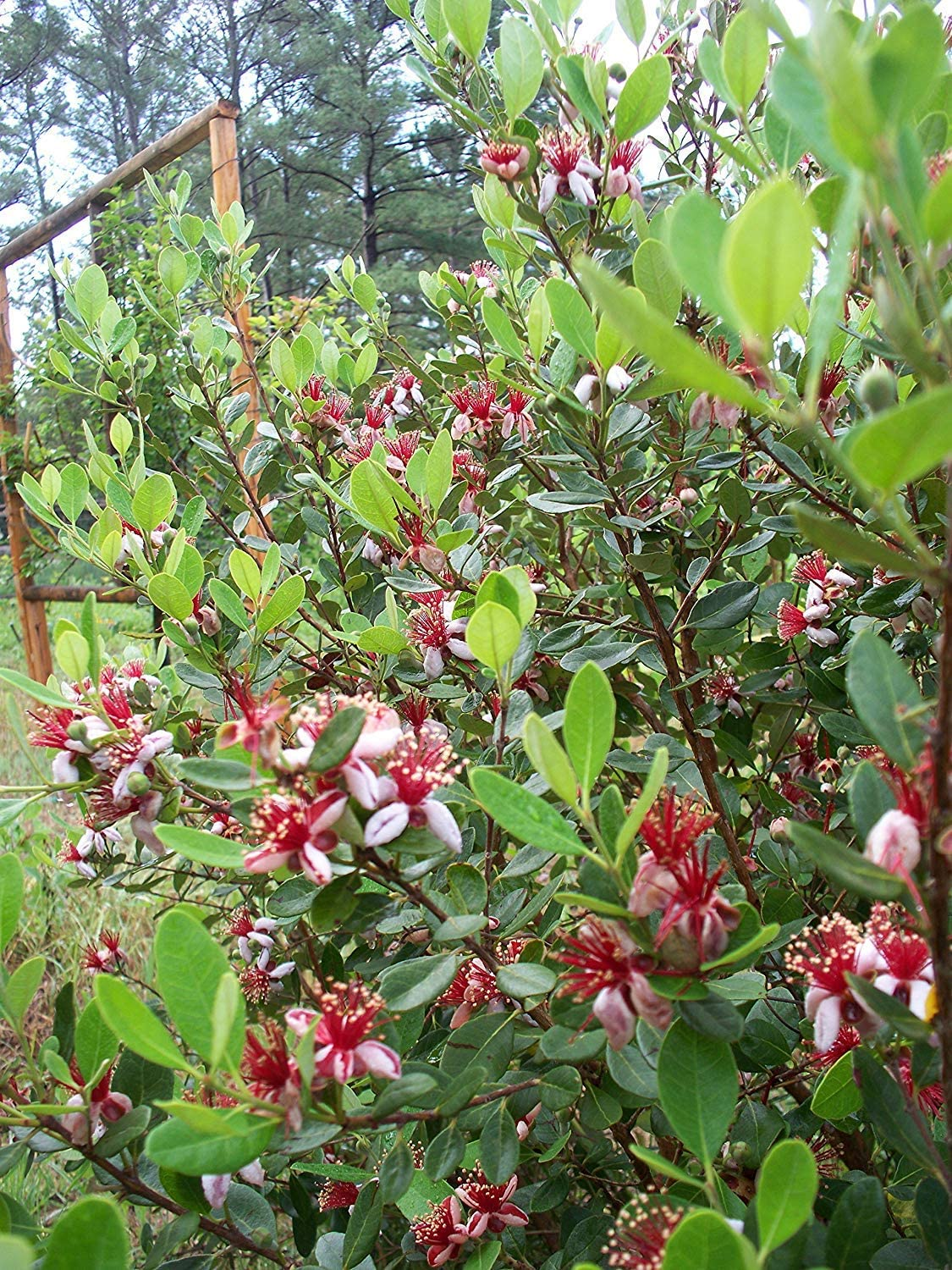 Pineapple Guava Feijoa Sellowiana Live Plant Fit 5 Gallon Pot LARGE full plant
