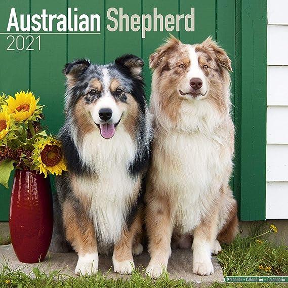 Amazon.: Australian Shepherd Calendar 2021   Dog Breed