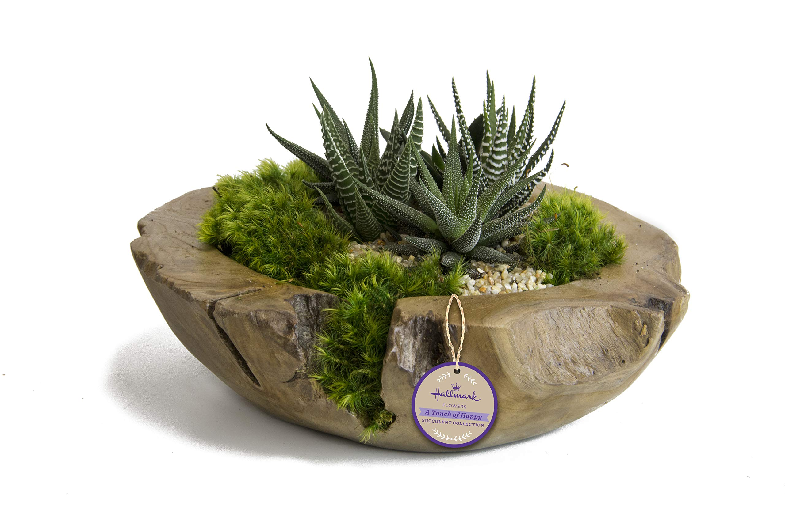Live Succulent Garden in 10'' Teak Bowl Container, From Hallmark Flowers by Hallmark Flowers