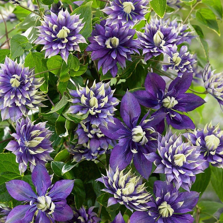 Amazon Com 25 Double Dark Purple Clematis Seeds Bloom Climbing