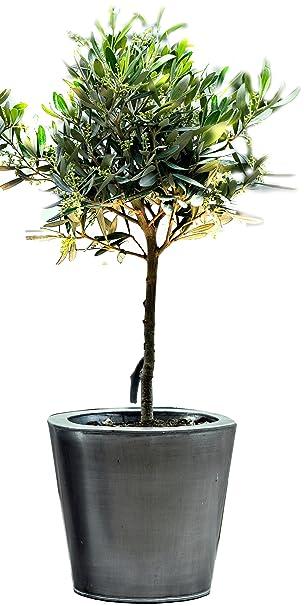 Geliebte Dominik Blumen und Pflanzen, Olivenbaum, Oliven-Stämmchen, 1 &FD_94