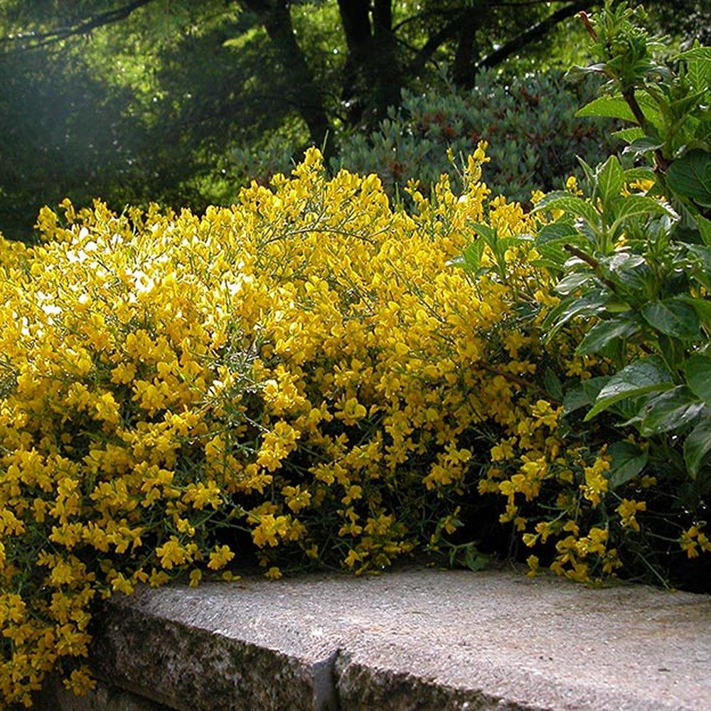 3 X GENISTA LYDIA SPANISH GORSE DECIDUOUS SHRUB HARDY GARDEN PLANT IN POT Gardener's Dream