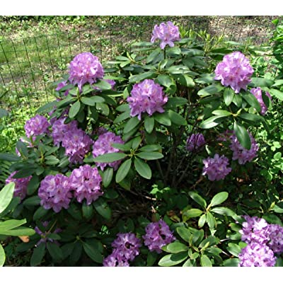 "Rhododendron Catawbiense Boursault 8-12"" Wide Foliage Two Gallon Plant : Garden & Outdoor"