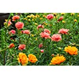 Flower Seeds : Portulaca Grandiflora Seed Packets - Garden Flower Seeds Pack by Creative Farmer