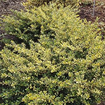 Ilex crenata Golden Gem - 2 shrubs: Amazon.co.uk: Garden & Outdoors