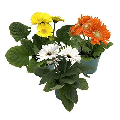 """The Three Company Healthy Live 5"""" Gerbera Daisies (3 Per Pack), 1 Quart, Assorted (Grower's Choice): Garden & Outdoor"""