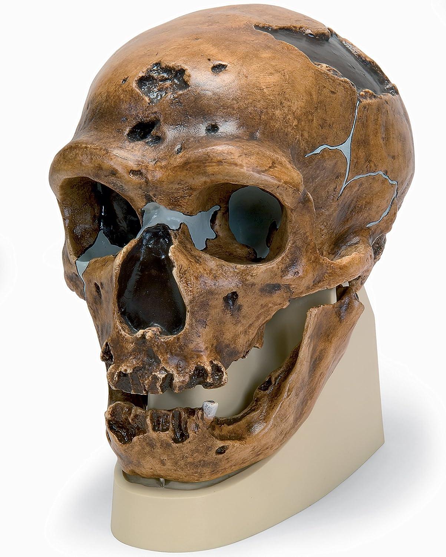 ネアンデルタール人 の 頭骨 モデル B00NXP9NSE