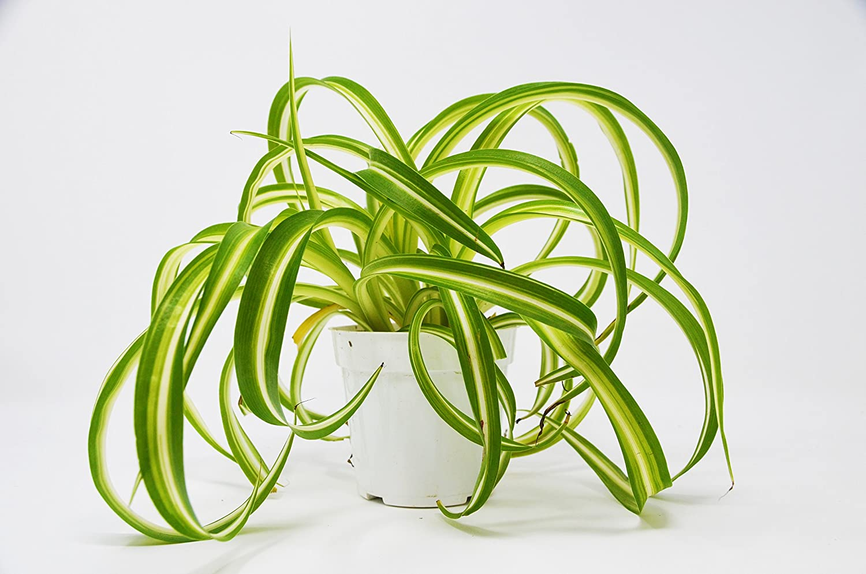 Safe Plants Spider Plant