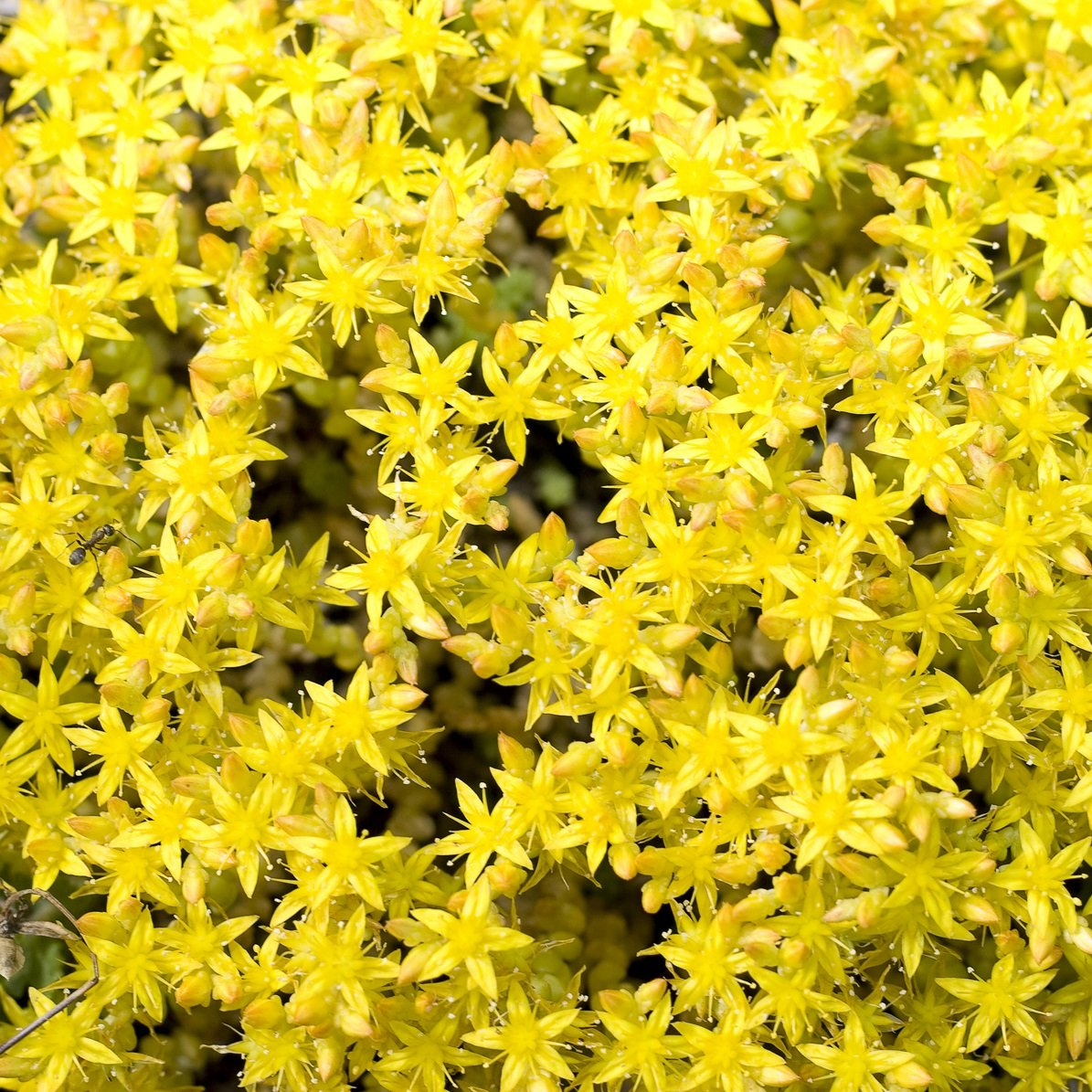 Amazon Outsidepride Sedum Acre Ground Cover Plant Seed 5000