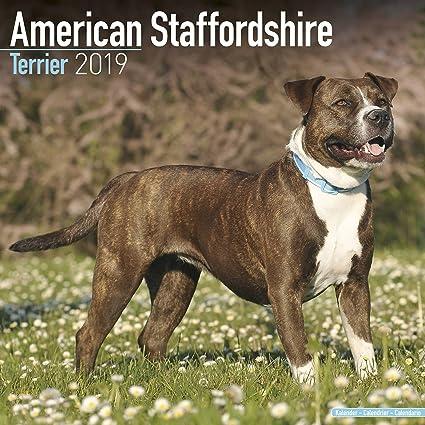 amazon com american staffordshire terrier calendar 2019 dog