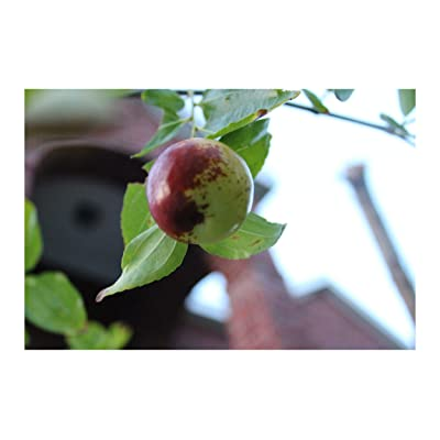 Zizyphus Jujuba Indian Jujube Seeds 7 Hard to find Seeds Small Tree Bright Green Leaves Loves Hot Summers Works Well as Bonsai or Standard : Garden & Outdoor
