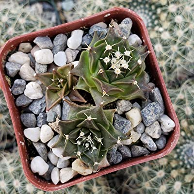 Obregonia denegrii Cactus Cacti Succulent Real Live Plant : Garden & Outdoor
