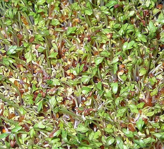 Shoopy Star 250 Semillas NT de CRESSON de Fontaine Plantas ...