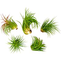 Deals on 6 Lowlight Air Plant Pack