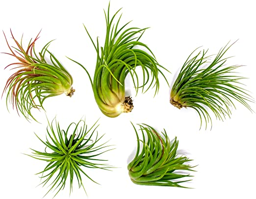 Perfect for large Terrariums and Hanging Planters! 2.5-3.5 Large Air Plant LARGE Tillandsia Ionantha Fat Boy