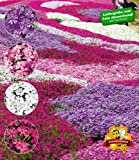 """BALDUR-Garten Winterharter Bodendecker Phlox-Mix""""Flowers of the Sea"""" Polsterphlox Polster-Flammenblume Polsterstauden Teppichphlox Moosphlox mehrjährig, 4 Pflanzen Phlox subulata"""