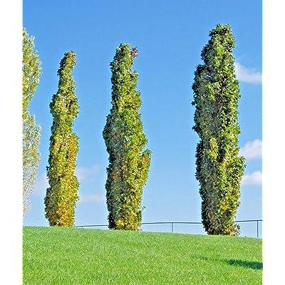 15 Slender Silhouette Sweet Gum Seeds - Liquidambar styraciflua 'Slender Silhoue : Garden & Outdoor