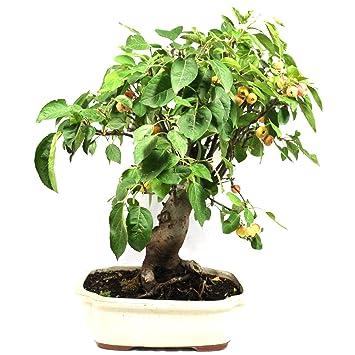 Manzano ornamental, Malus, bonsái para exterior, 18 años, altura 43 cm