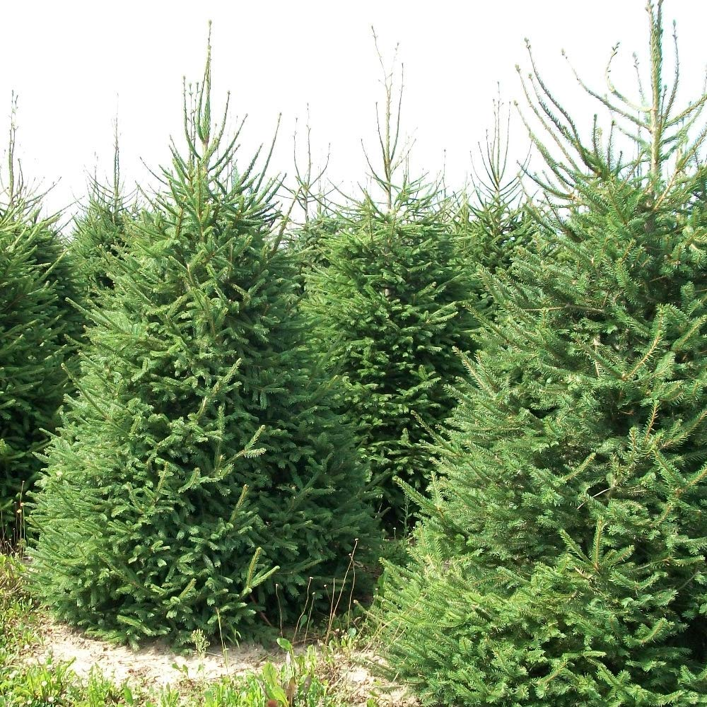 GardenersDream Norway Spruce Pot Grown Christmas Tree - Real Live ...