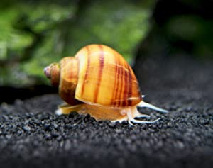 Aquatic Arts 10 Live Albino Mystery Snails | Freshwater Aquarium Species/Real Living Nano Fish Tank Pet | Glass Clearing Snail | Natural Decor
