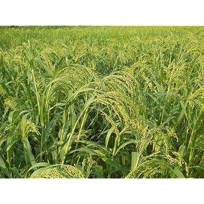 AchmadAnam - 200 Seeds Proso Millet : Garden & Outdoor