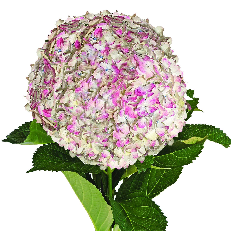 Farm Fresh Natural Jumbo Antique Pink Hydrangeas - Pack 12 by Bloomingmore