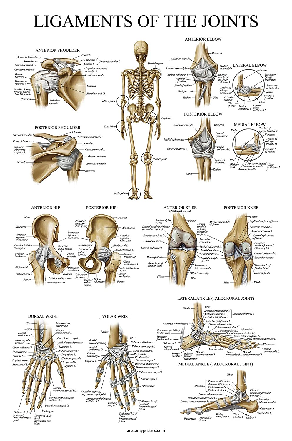 Ligaments Of The Joints Anatomical Poster Laminated Ligament