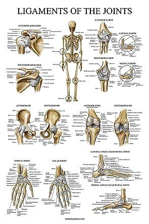 Joint Anatomy Charts