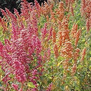 Organic Brightest Brilliant Rainbow Quinoa - 1 g ~340 Seeds - Organic, Non-GMO, Open Pollinated, Heirloom - Psuedo Grain Seeds - Sprouting