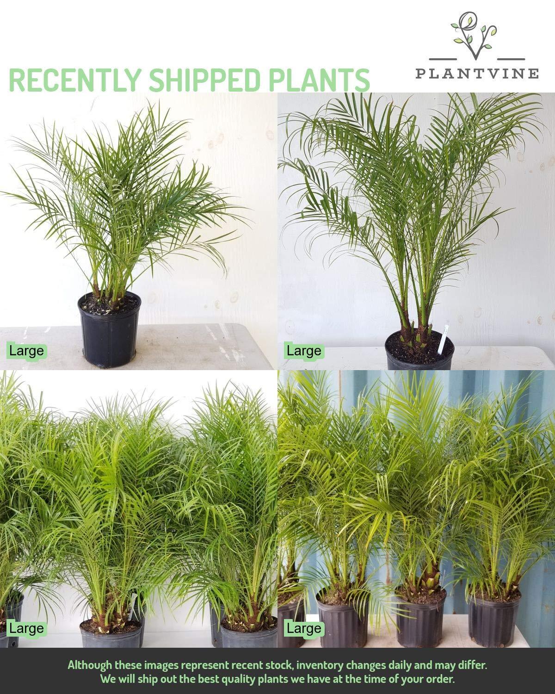Phoenix roebelenii, Pygmy Date Palm, Roebelenii Palm - 3 Gallon Live Plant by PlantVine (Image #5)
