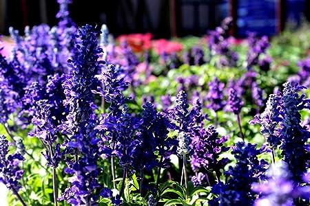 200//3200 Seeds Sage Blue Victoria//Mealycup Sage//Salvia Farinacea