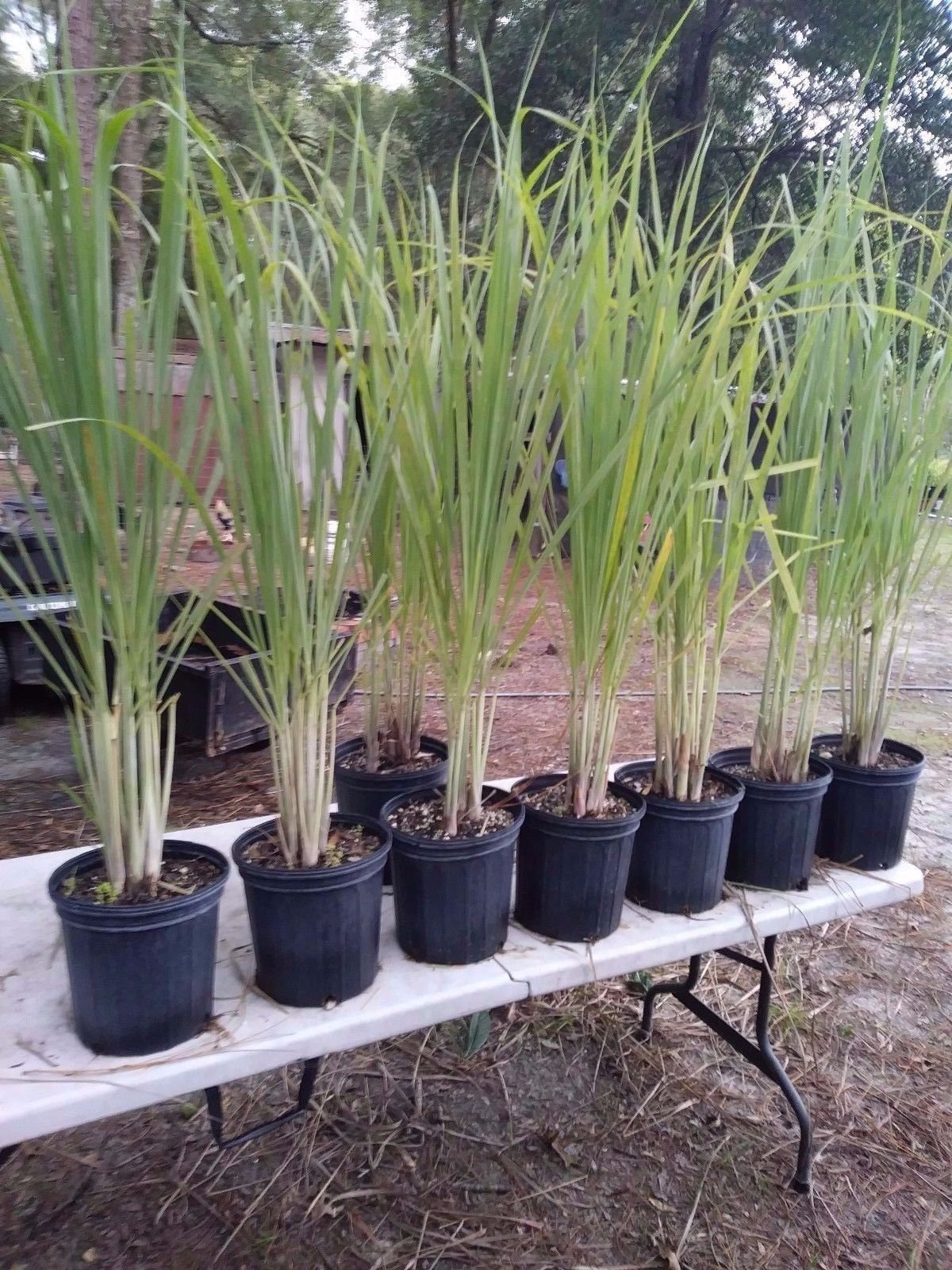 Lemongrass 6 Live Plants Each 4In to 7In Tall fully rooted