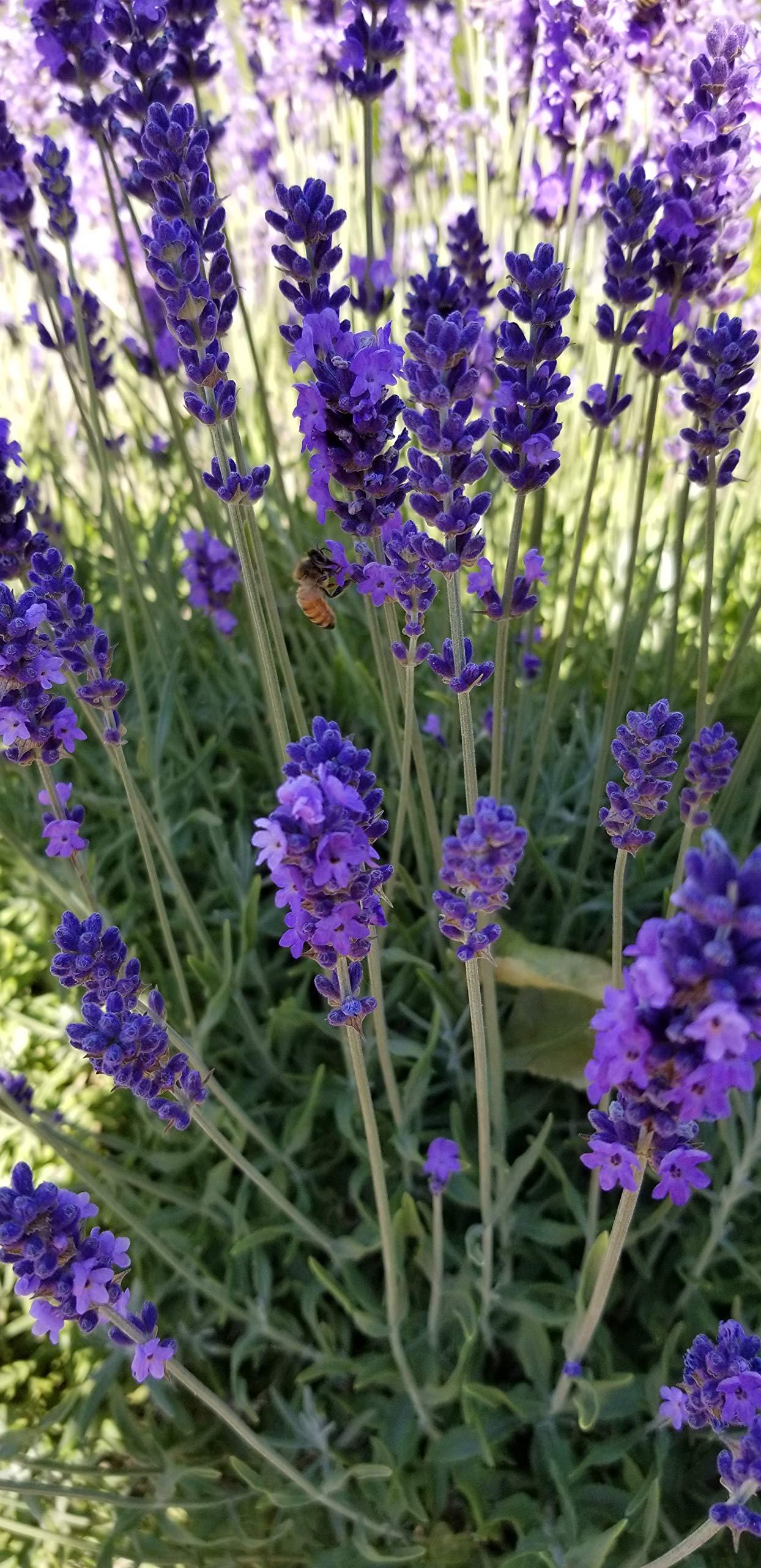 Findlavender - Hidcote Blue Lavender Plant - 4'' Size Pot - 8 Live Plants by Findlavender (Image #1)