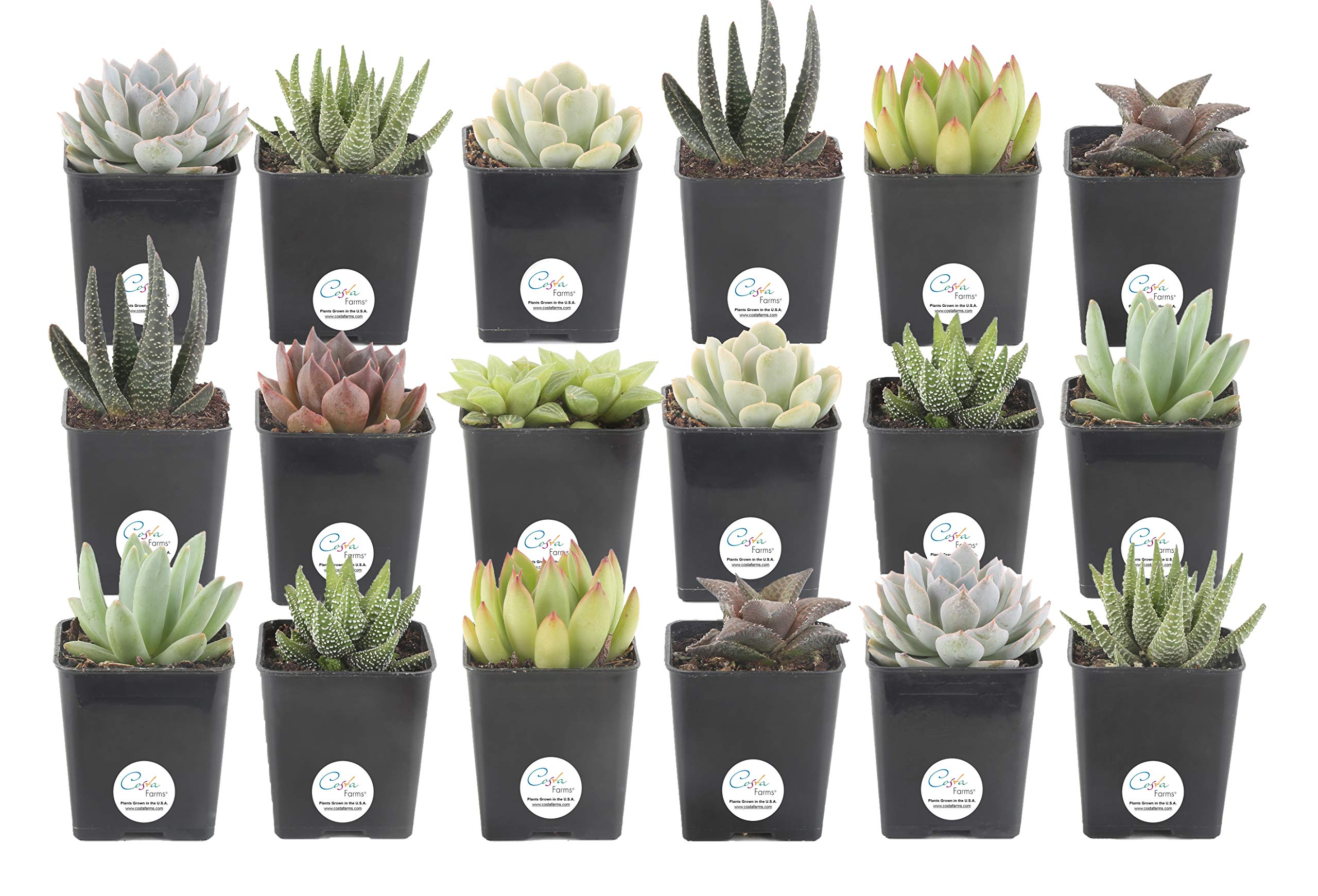 Costa Farms Jumbo-Mini Haworthia - Echeveria Live Succulent Plants, Grower Choice Assortment, Fully Rooted, Ships in 2.5-Inch Grower Pot, 18-Pack, Fresh From Our Farm by Costa Farms