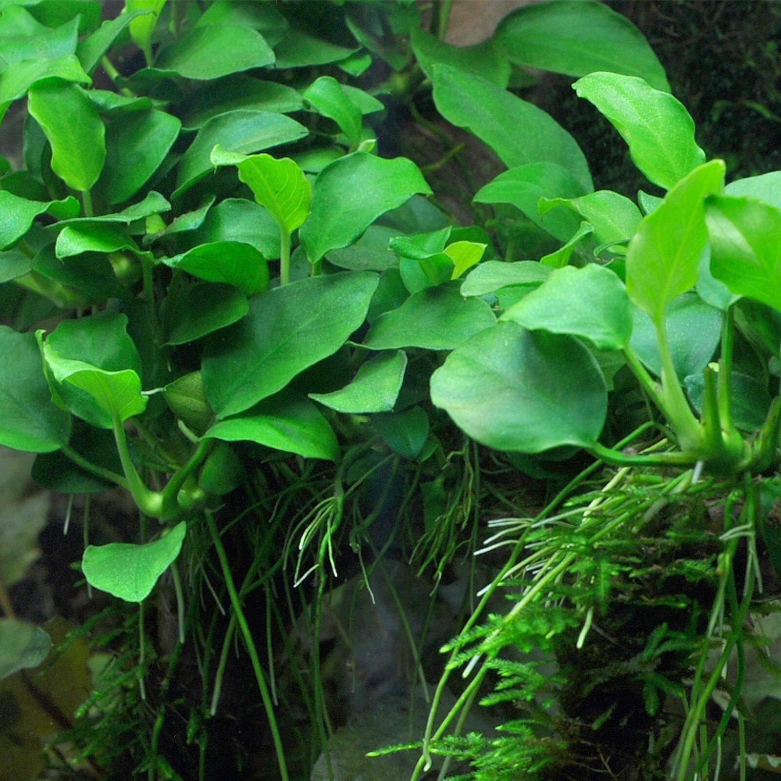 20x Anubias Petite Nana Loose Rhizome 8+ Leaf APF Aquatic Live Aquarium Plants by SS0156