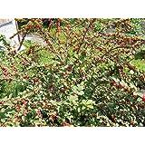 DWARF NANKING CHERRY TREE SHRUB 2-3 FT FLOWERING FRUIT TREES LIVE PLANTS