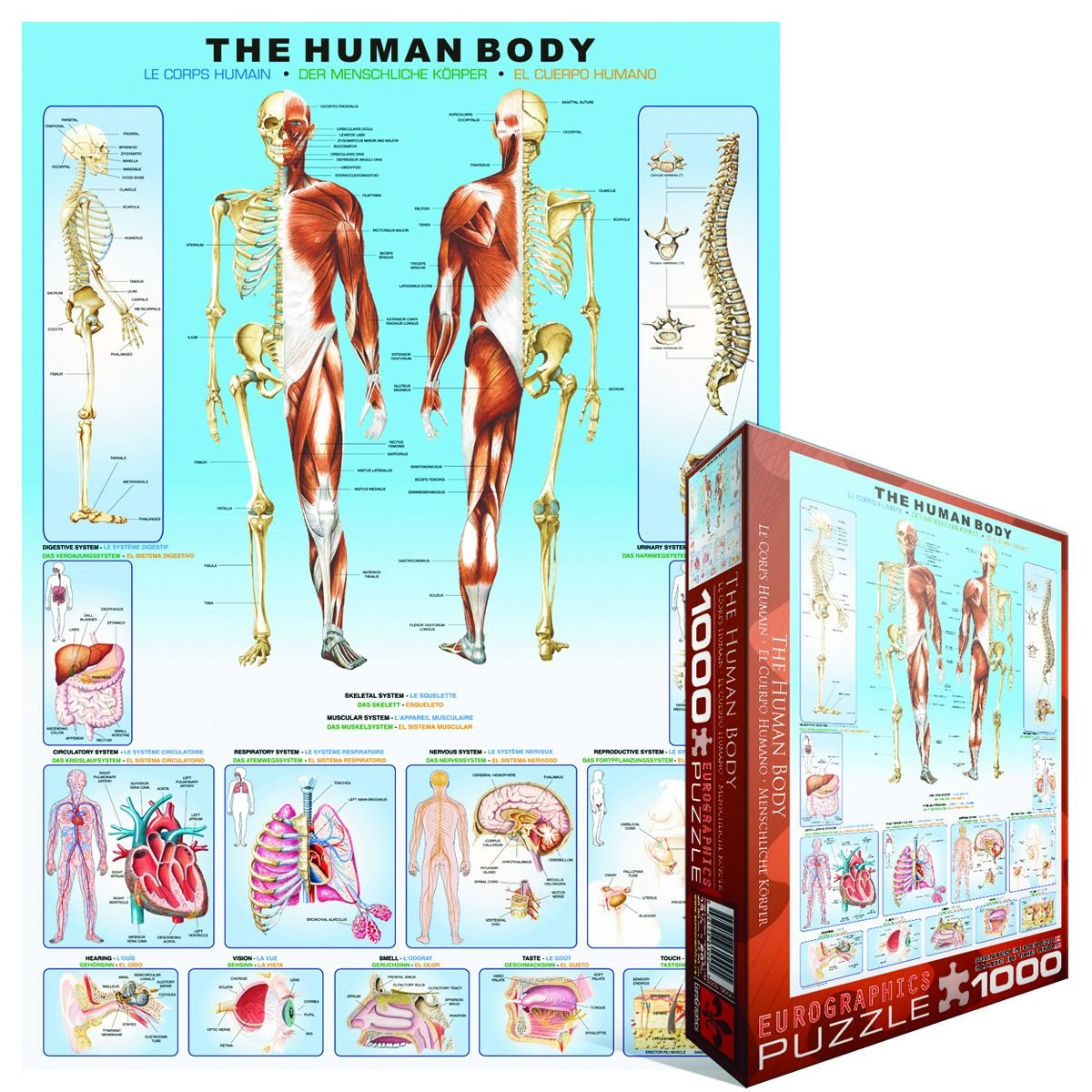 Amazon.com: EuroGraphics Human Body Puzzle (1000-Piece): Toys & Games