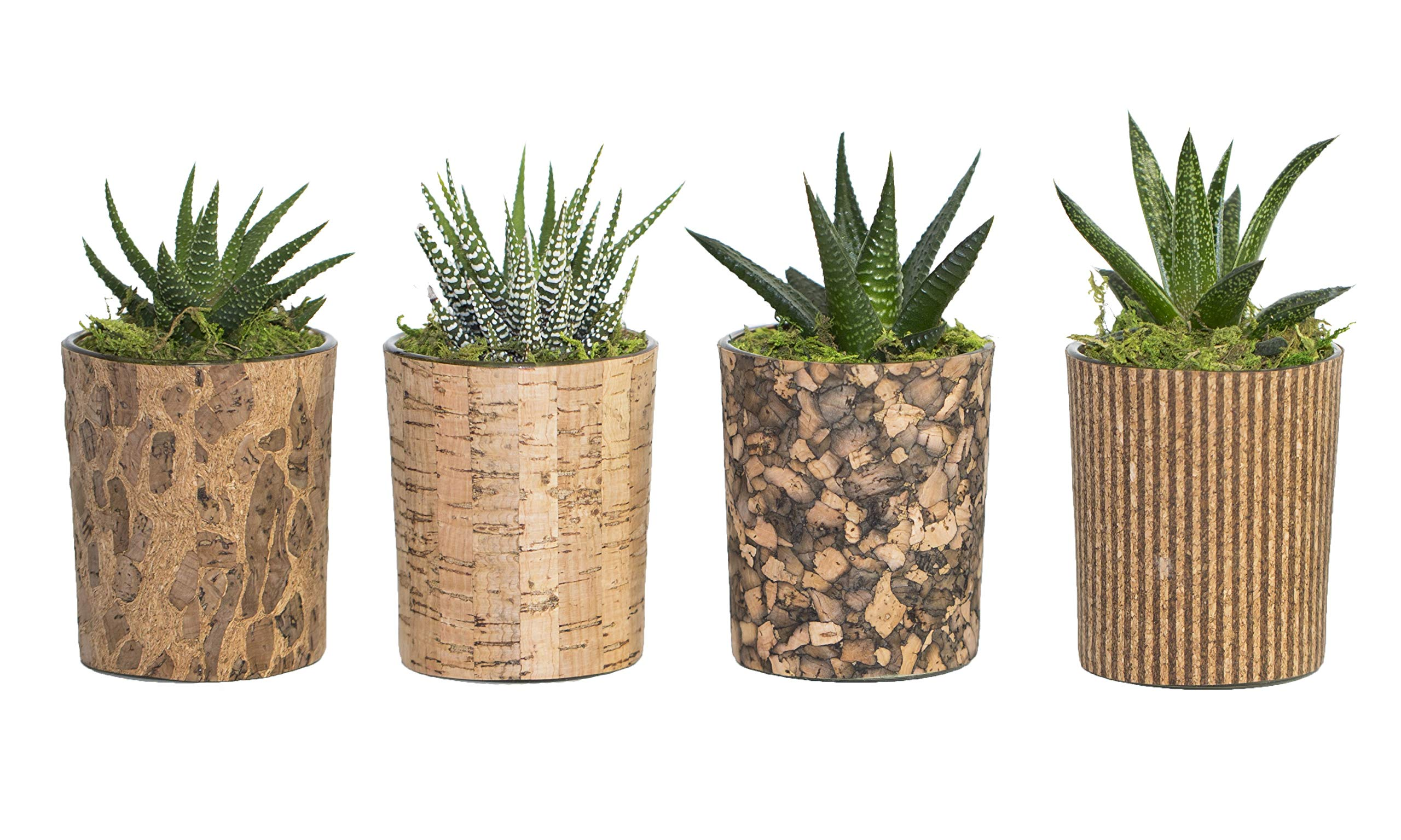 Live Succulents in Glass and Cork Containers Set of 4, From Hallmark Flowers by Hallmark Flowers (Image #1)