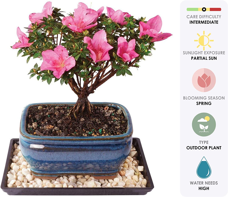 Amazon Com Brussel S Live Azalea Kazan Outdoor Bonsai Tree 5 Years Old 6 To 8 Tall With Decorative Container Humidity Tray Deco Rocks Garden Outdoor