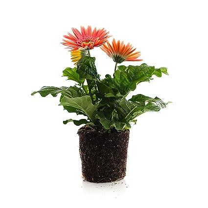 Amazon.com: Plantas por Post Gallon Gerbera Mega Revolution ...