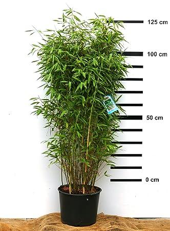 Bambus Fargesia Standing Stone Winterhart Und Schnell Wachsend 100